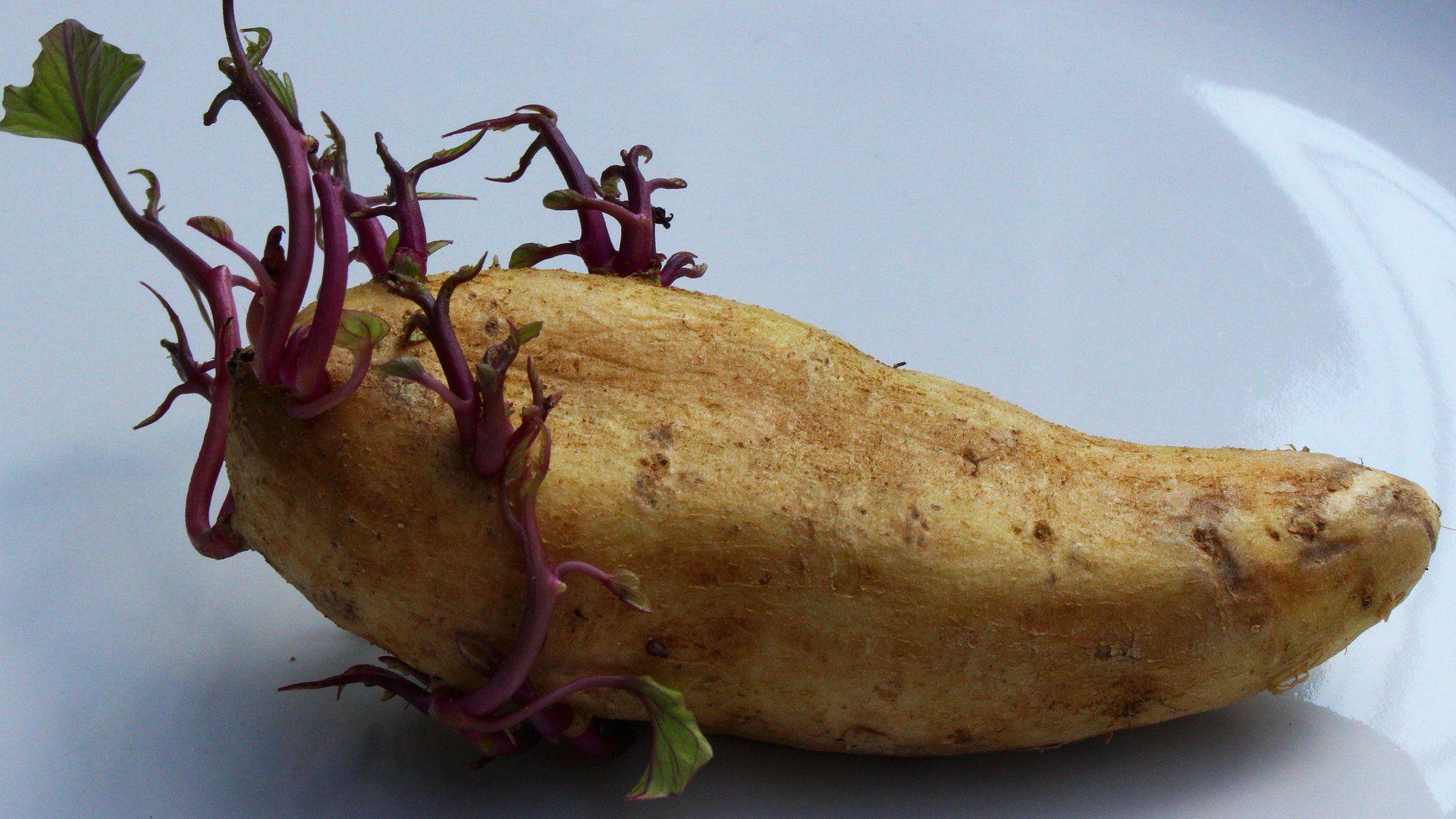 krumpli csíra