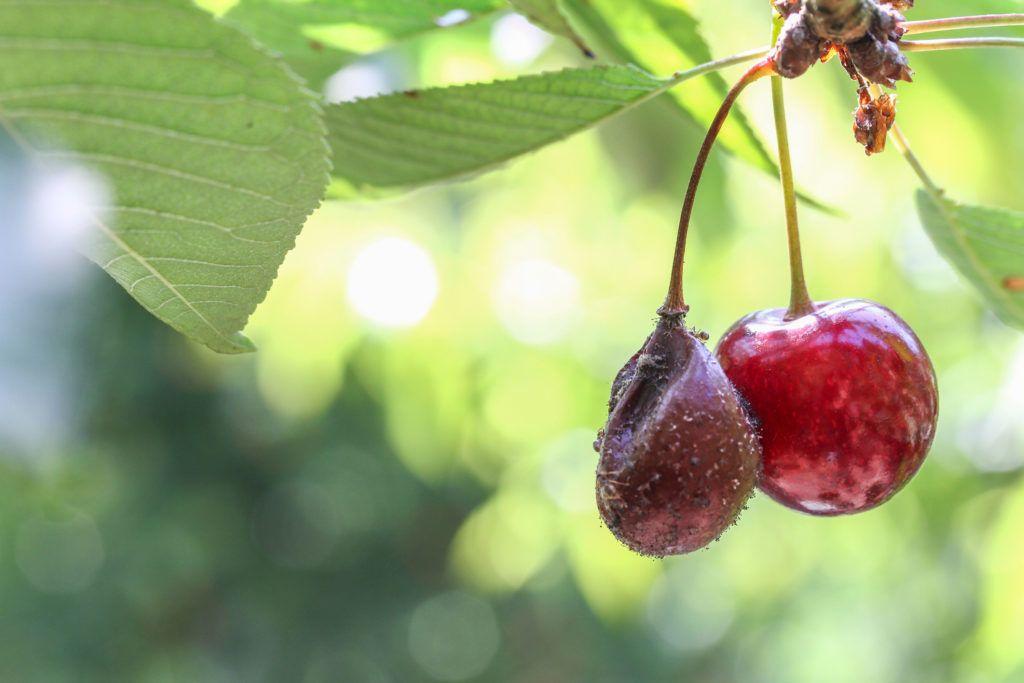 moníliás cseresznye