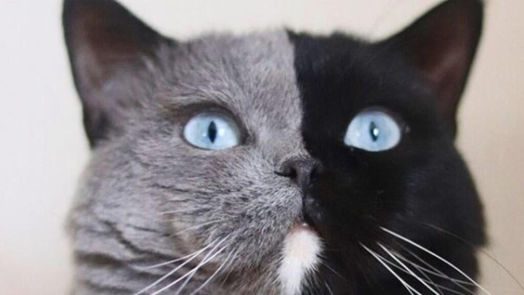 Tündéri: két cicája született a felemás arcú macskának a pofája mindkét színében