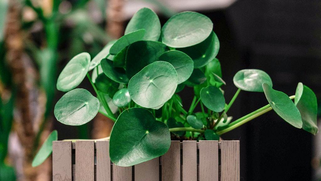 A pénzlevelű pilea igénytelen szobanövény.