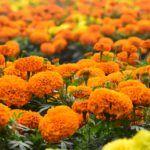Szebbik nevén bársonyvirág