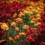 Más virágokkal kombinálva is mutatós