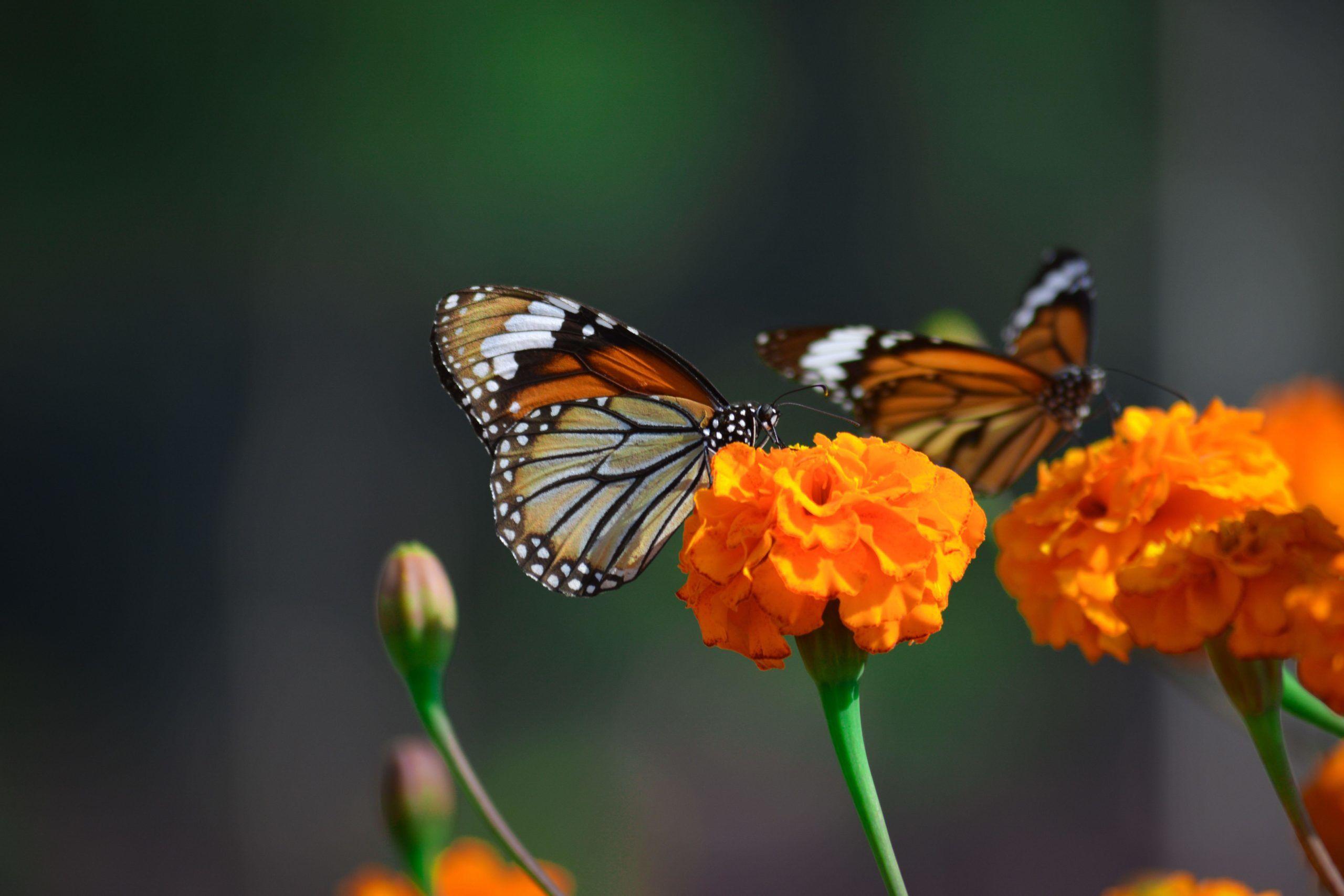 A pillangókat is vonzza