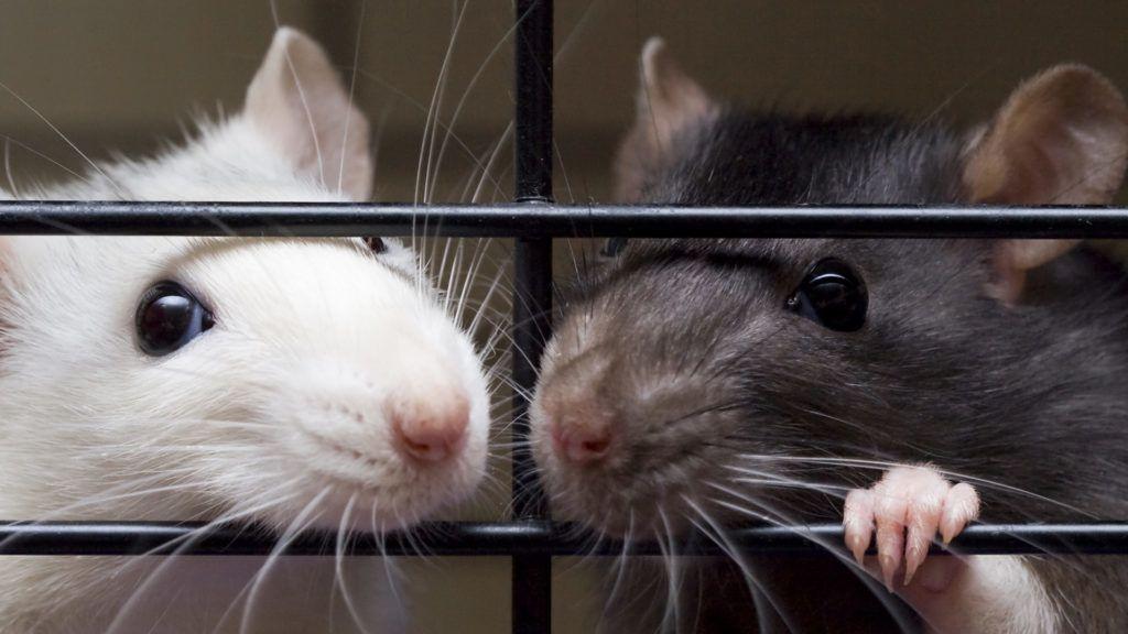 Patkányokat láttak több budapesti kerületben is