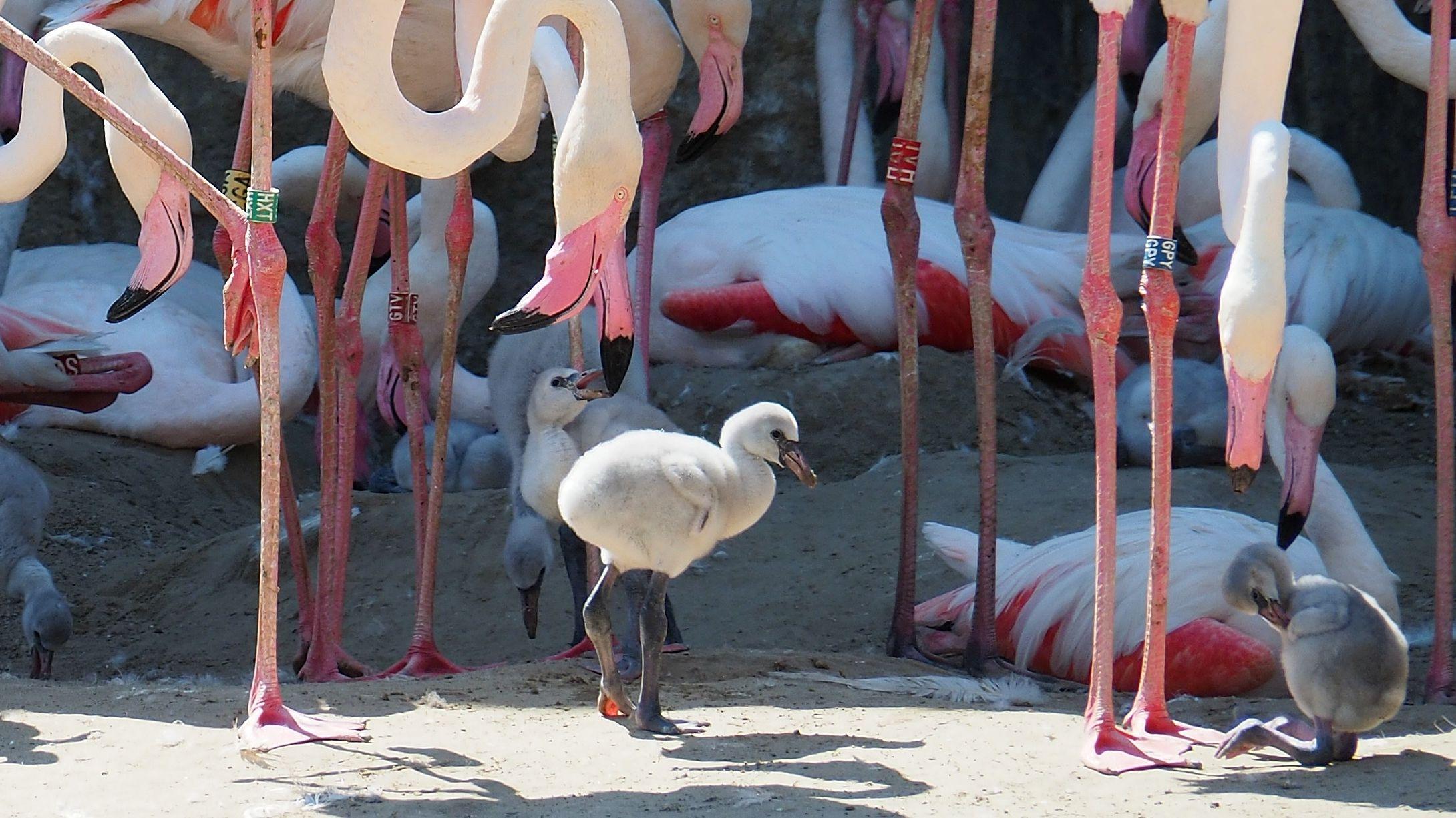 19 fióka kelt ki a flamingóknál