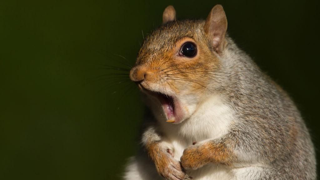 7 hetes mókuskölyök hangját rögzítette egy fotós