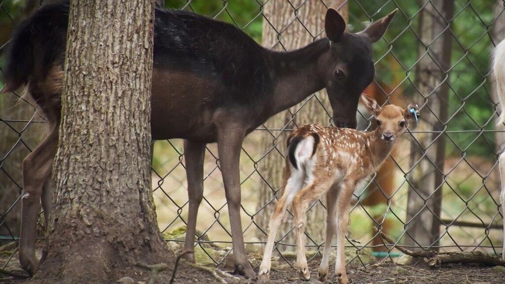 Irtó cuki szarvasborjúk születtek a Budakeszi Vadasparkban
