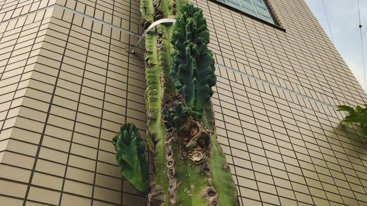 Ez lehet a világ legmagasabb kaktusza