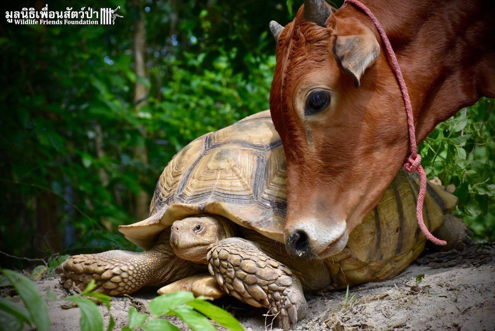 tehén teknős barátság