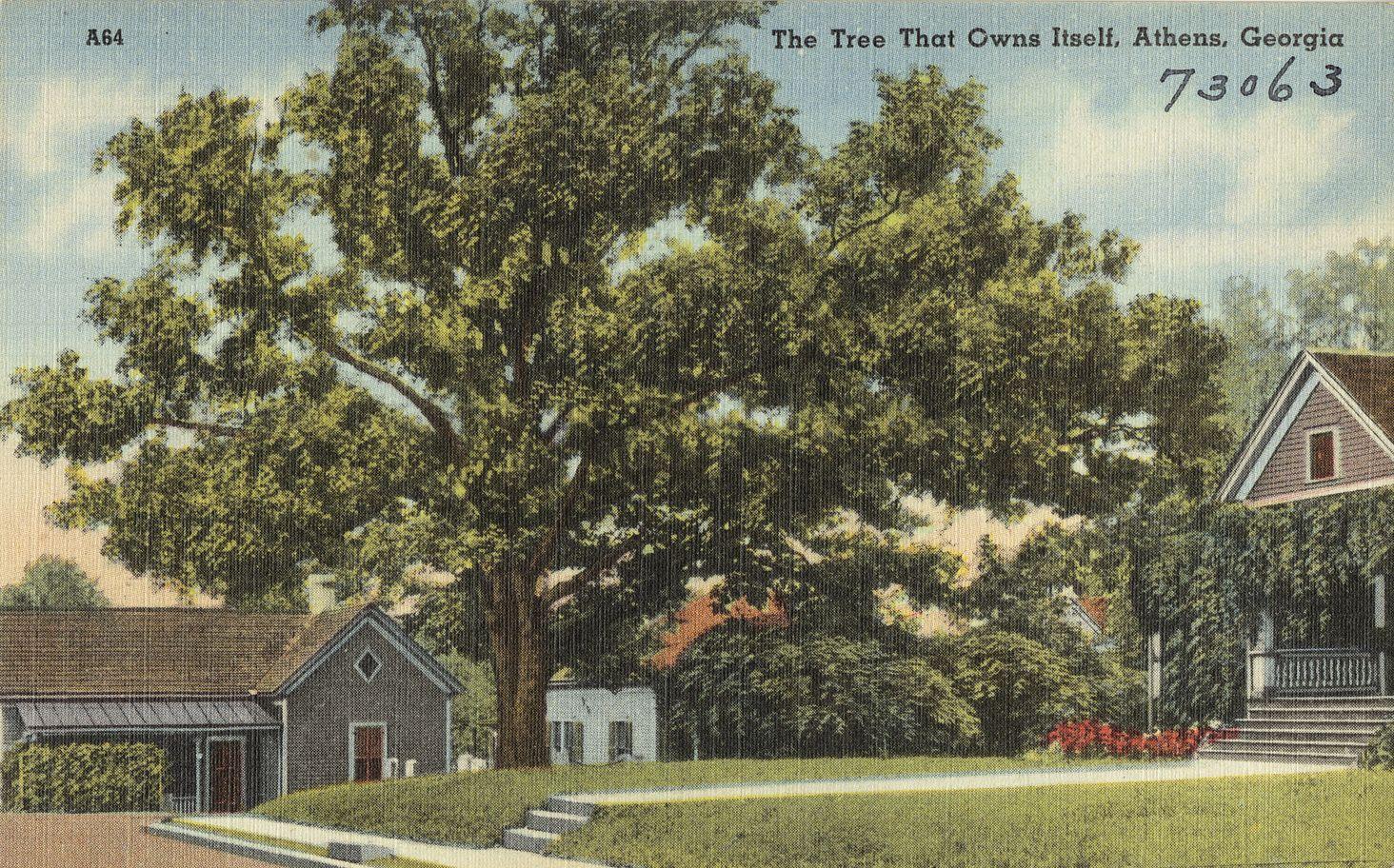 A fa egy harmincas évekbeli képeslapon (fotó: Wikipedia)