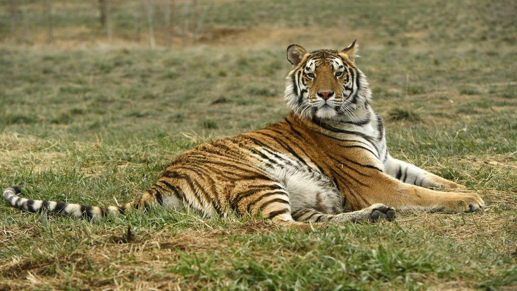 Az egyik tigris, amelyet kimentettek Joe Exotic állatkertjéből (Fotó: Getty Images)