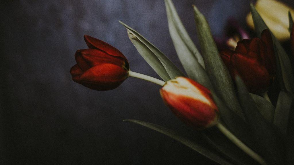 """Ezek a """"fagylalt"""" tulipánok olyan gyönyörűek, hogy legszívesebben elnyalnánk őket."""