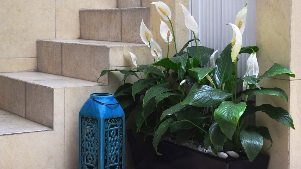 A vitorlavirág igénytelen szobanövény és a levegőt is tisztítja.