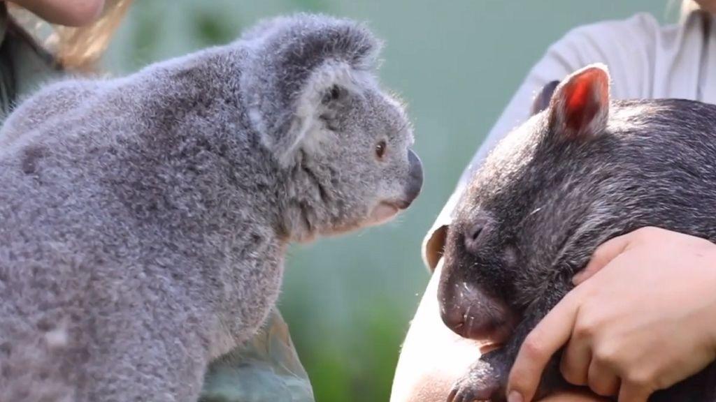 Örök barátságot kötött a vombat és a koala