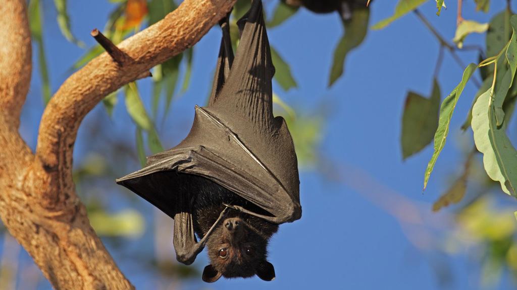 Az óriás repülőkutya vagy más néven kalong hatalmas kolóniákban él. (Fotó: Profimedia)