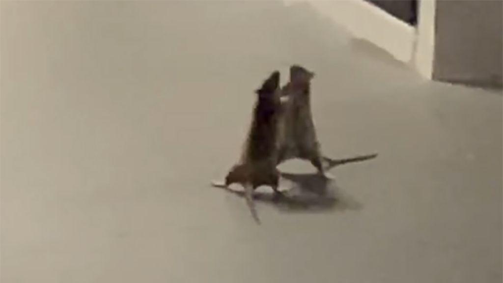 Verekedő patkányok