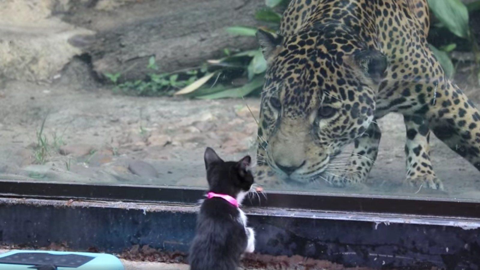 cica jaguár állatkert