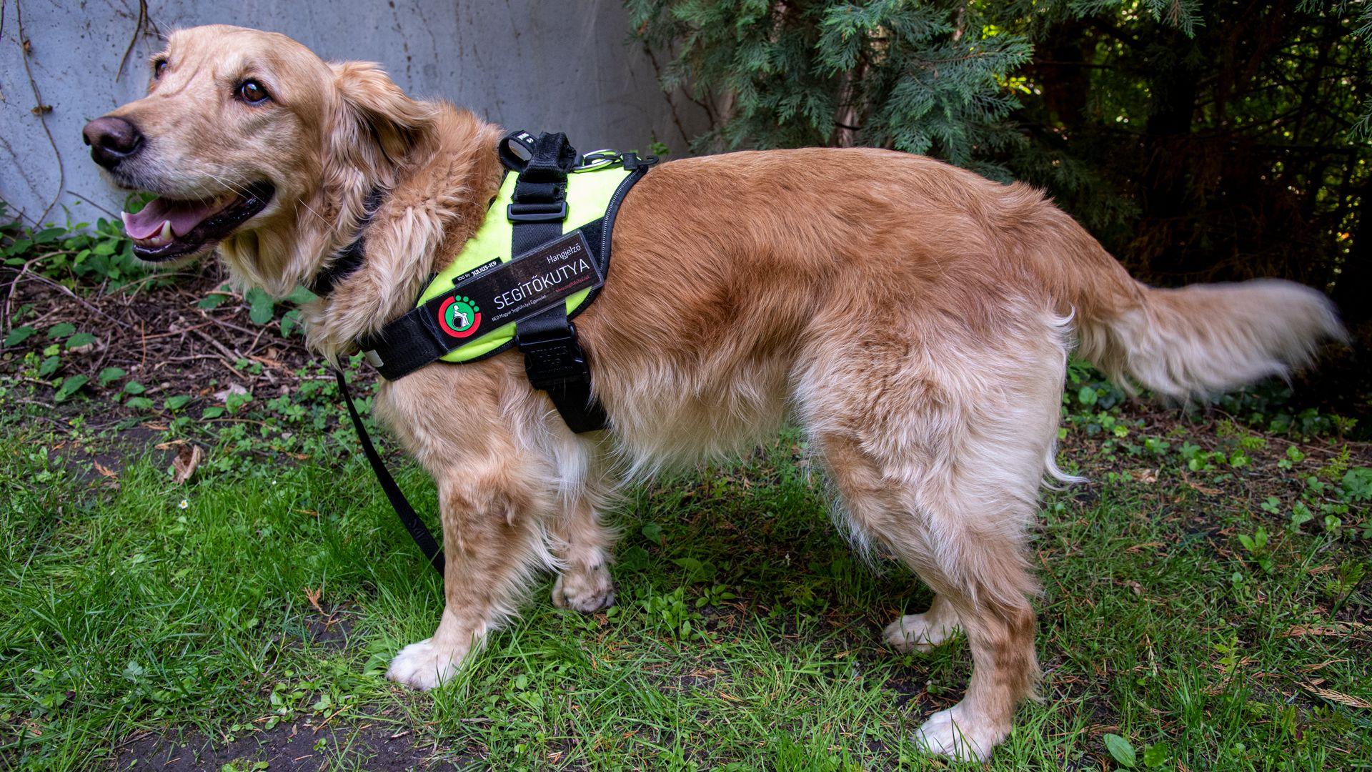 Hallássérülteket segítő kutya