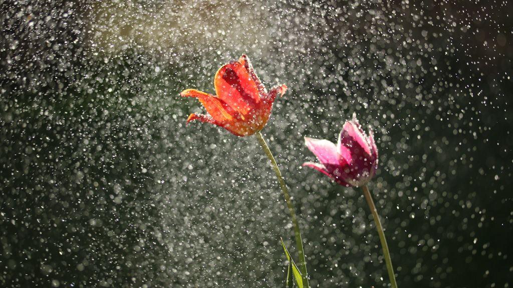esik az eső a virágokra