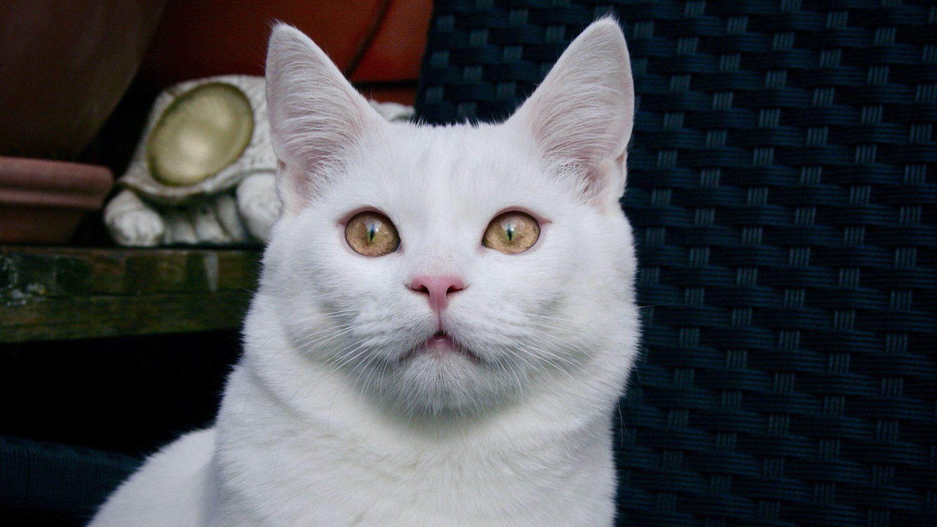 Fehér macska