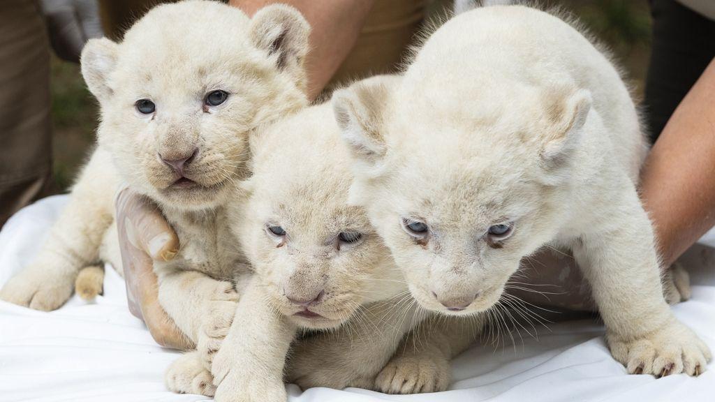 Hármasiker fehér oroszlánkölykök születtek Nyíregyházán