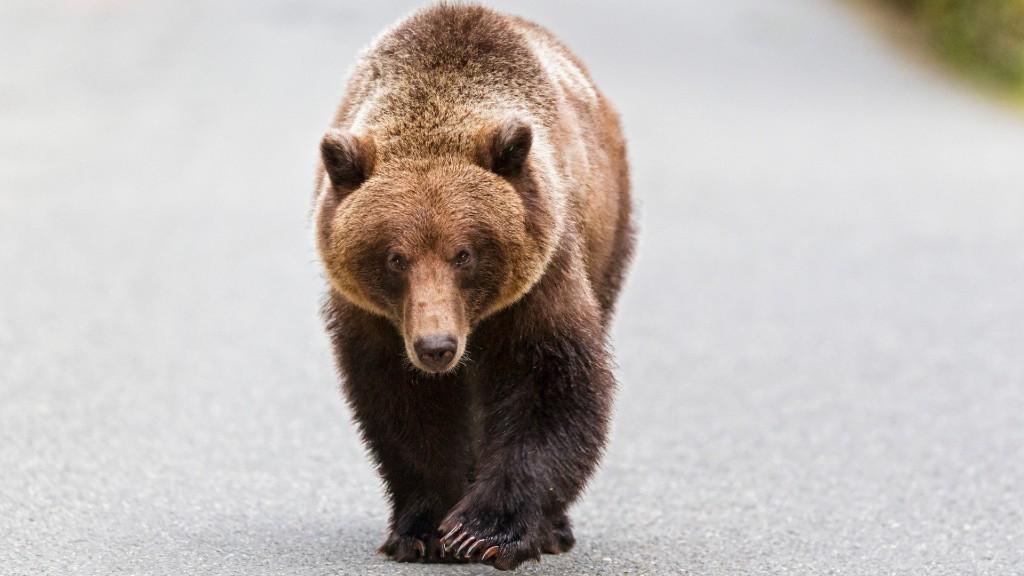 Egy kóborló medve (fotó: Getty Images)