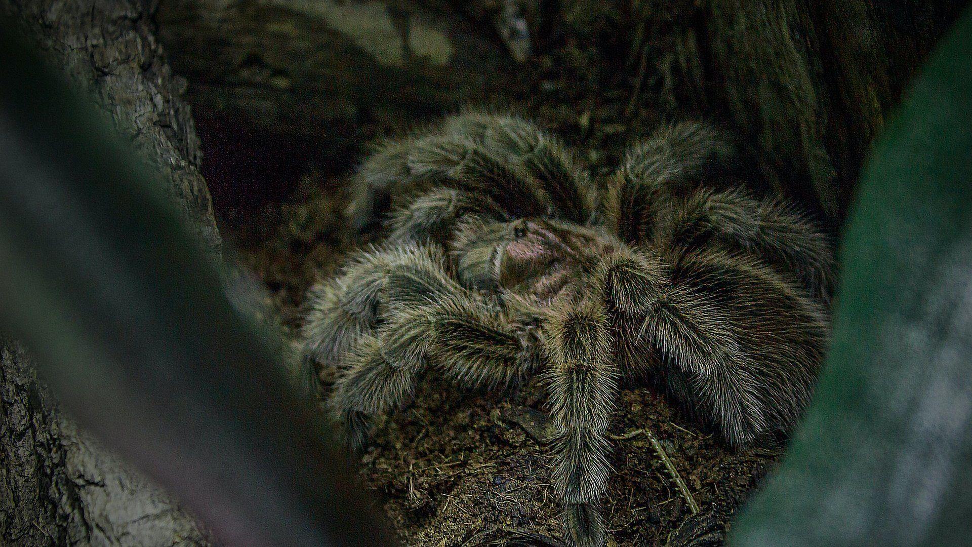 Chilei rózsaszín tarantula