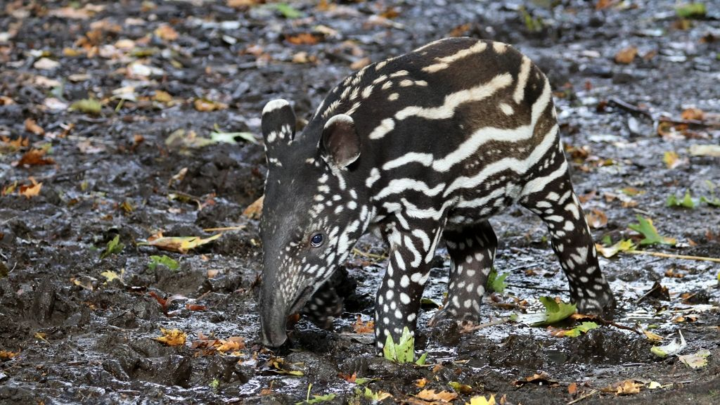 A tapírkölykök is imádnak pancsolni