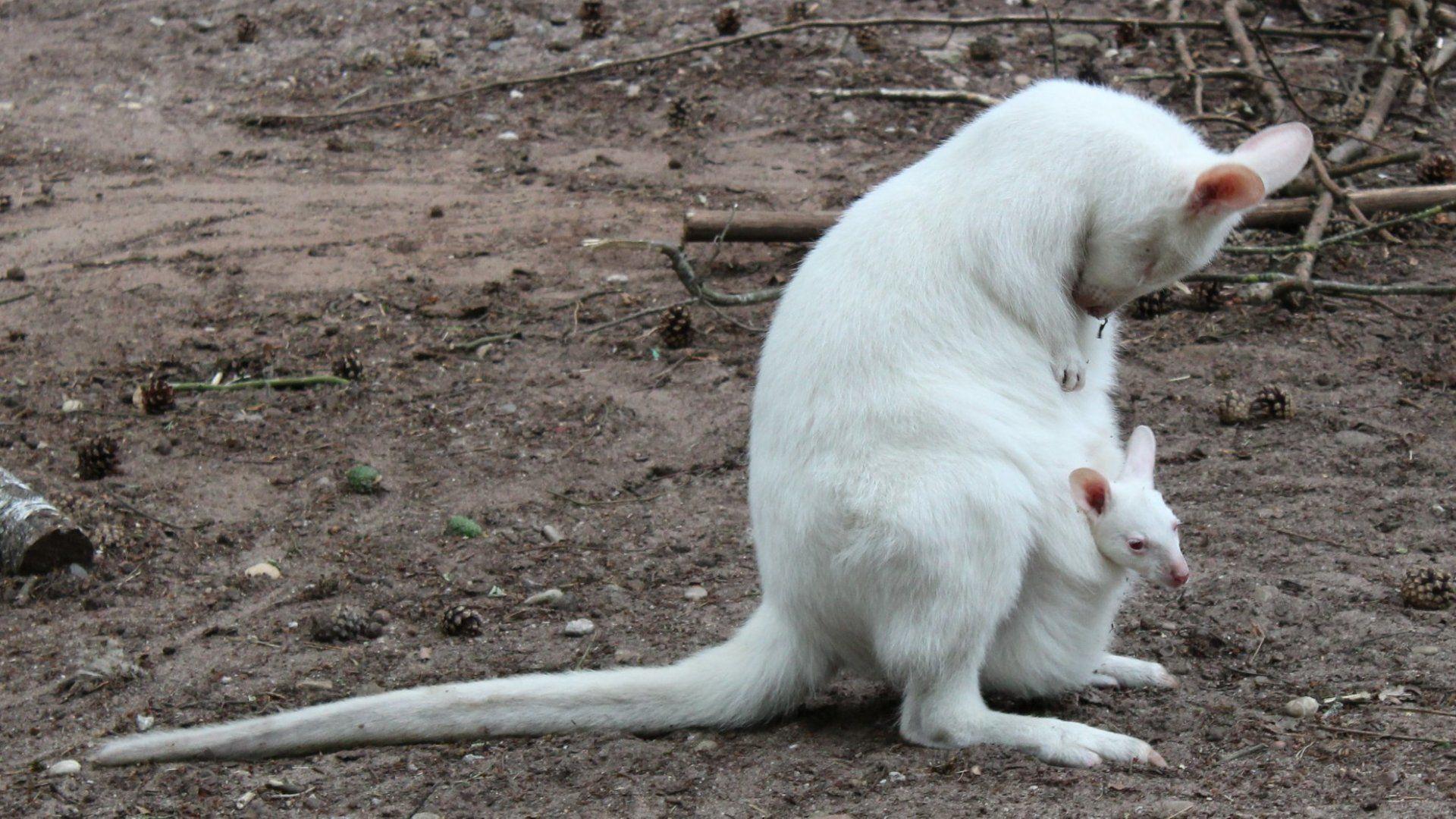 Albínó kengurubébi, MIla