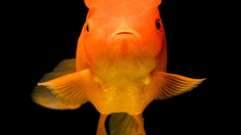 Megmentette a depressziós aranyhal életét.