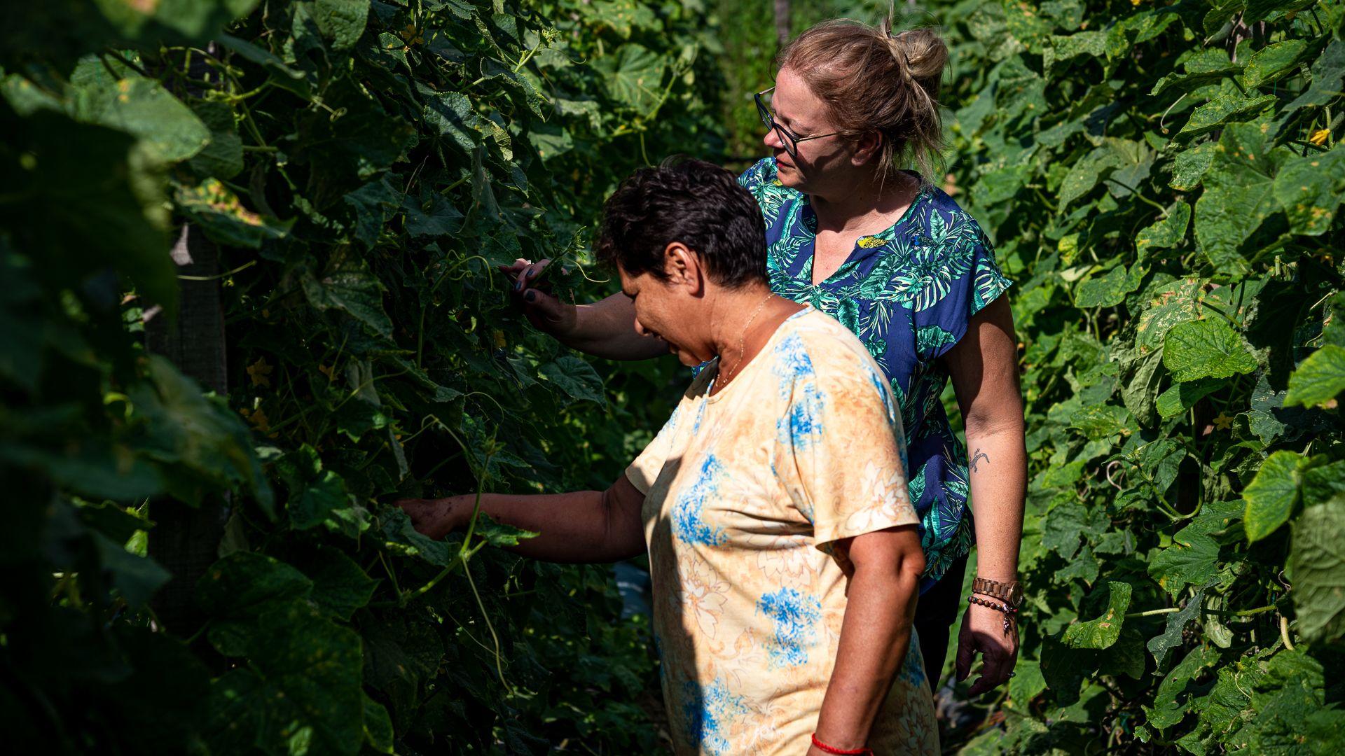 Uborkatermesztéssel segít a szegényeken a szalatnaki polgármester