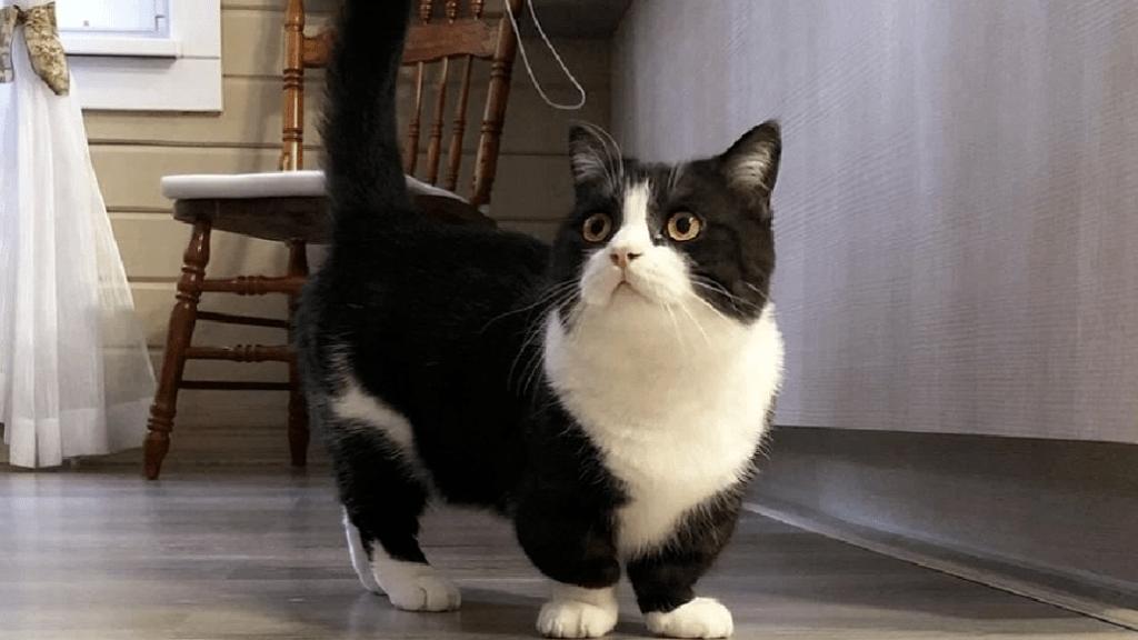 Mancheseter, a rövid lábú macska - Fotó: Instagram