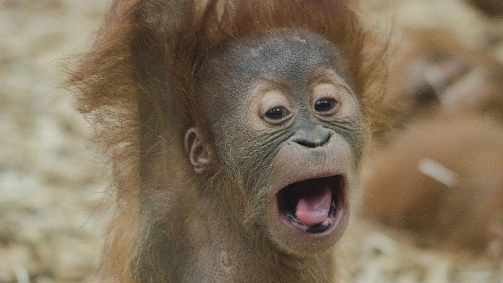 Bébi orangután - Fotó: Pixabay