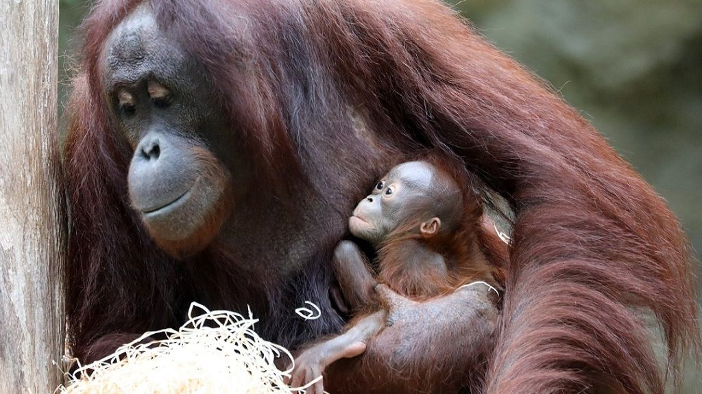 Orangután bébi - Fotó: Getty