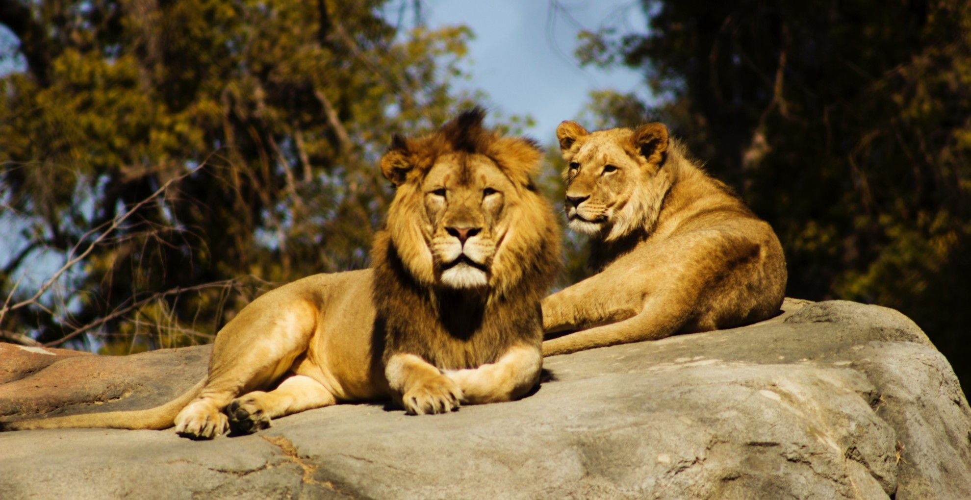 Együtt altatták el az oroszlánpárt.
