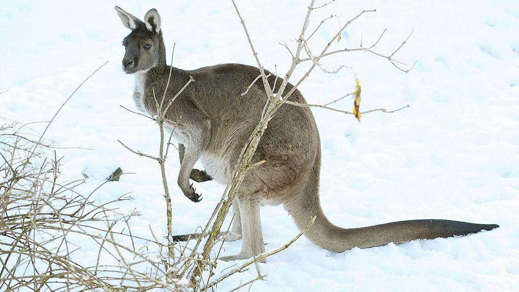 Hóban ugráló kengurukat videóztak Ausztráliában