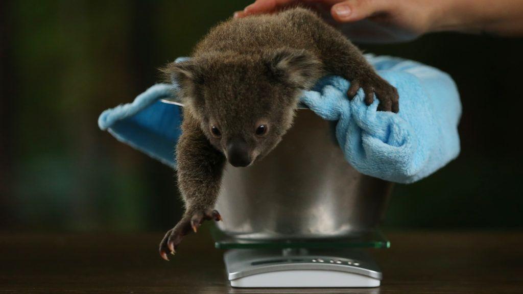 A koala ujjlenyomat majdnem pont olyan, mint az emberé