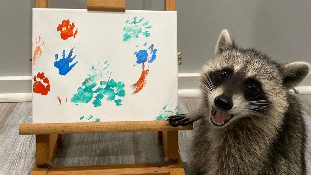 Festményeket készít a mosómedve