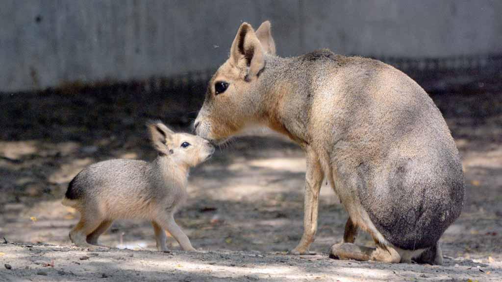 Robban a cukiságbomba a Fővárosi Állatkertben