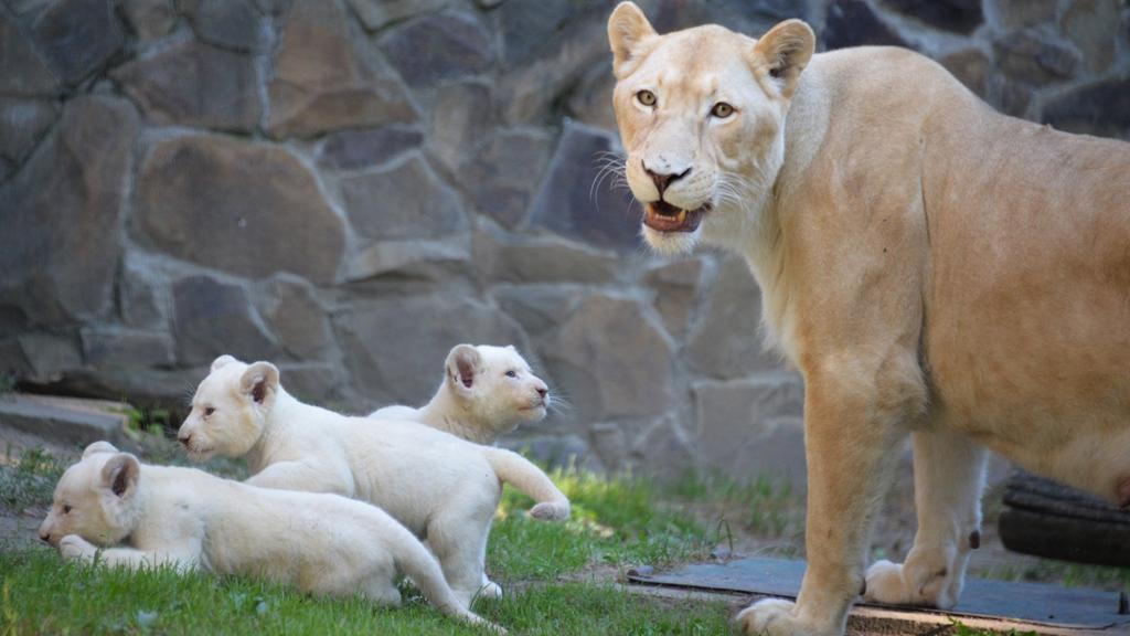 Gyönyörű nevet kaptak a kisoroszlánok. (Fotó: Facebook/Nyíregyházi Állatpark)