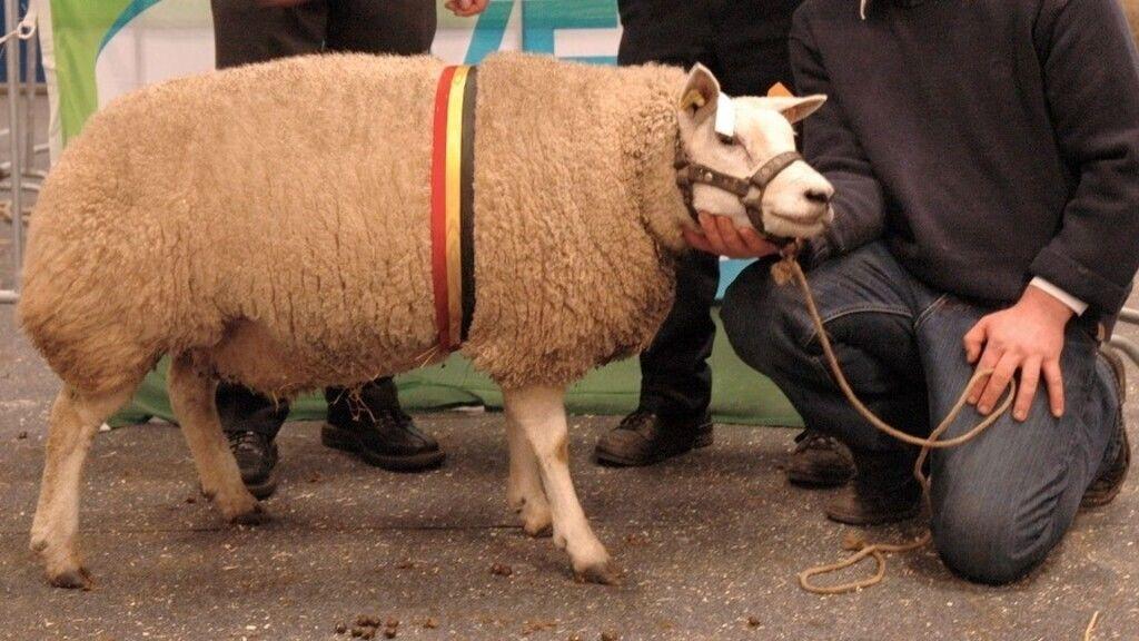 Ő nem a rekorder, hanem a hasonlóan kinéző flamand bajnok (Fotó: agriflanders/Wikipédia)