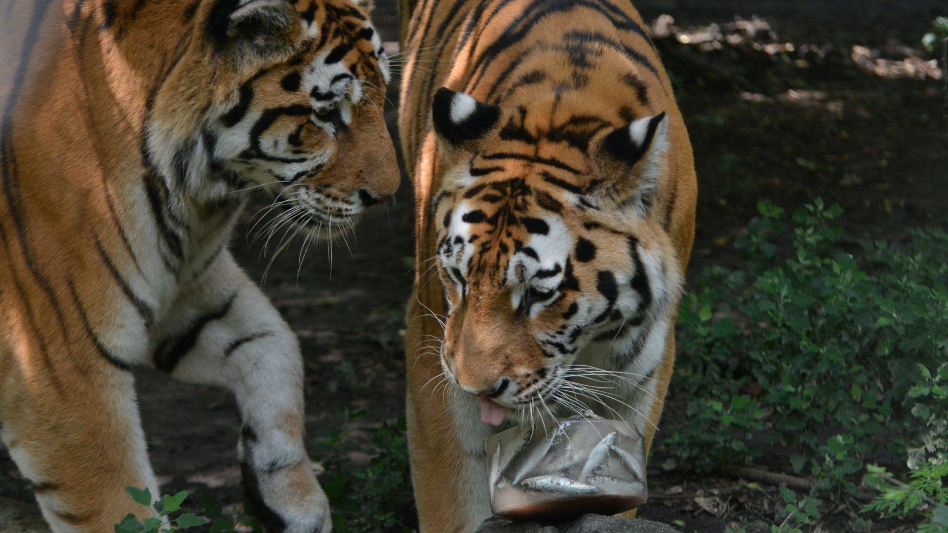 Szegedi Vadaspark tigrisek