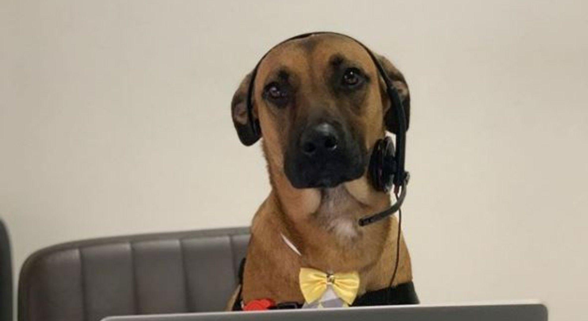 Autószalonban kapott munkát a kitartó kóbor kutya.