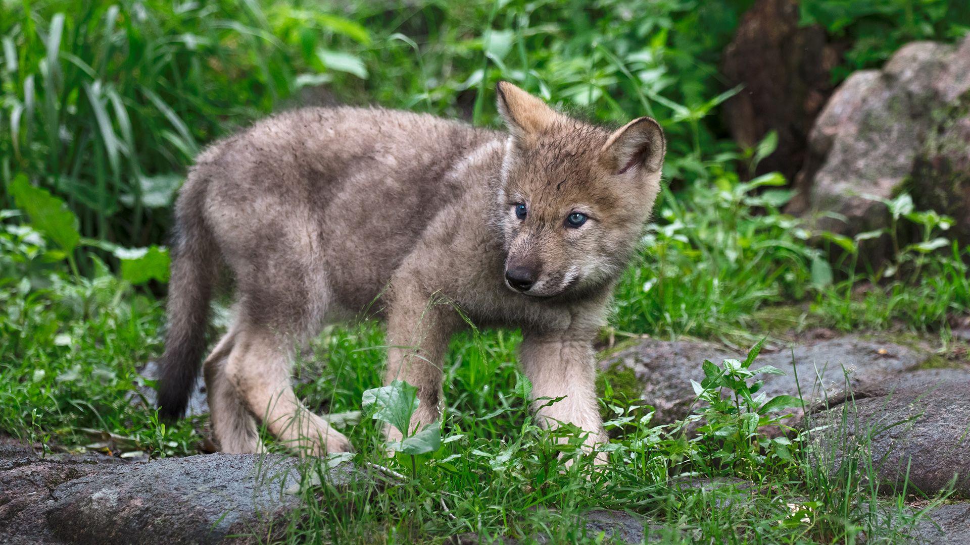 Farkaskölyök sétált az erdész kamerája elé a Bükkben