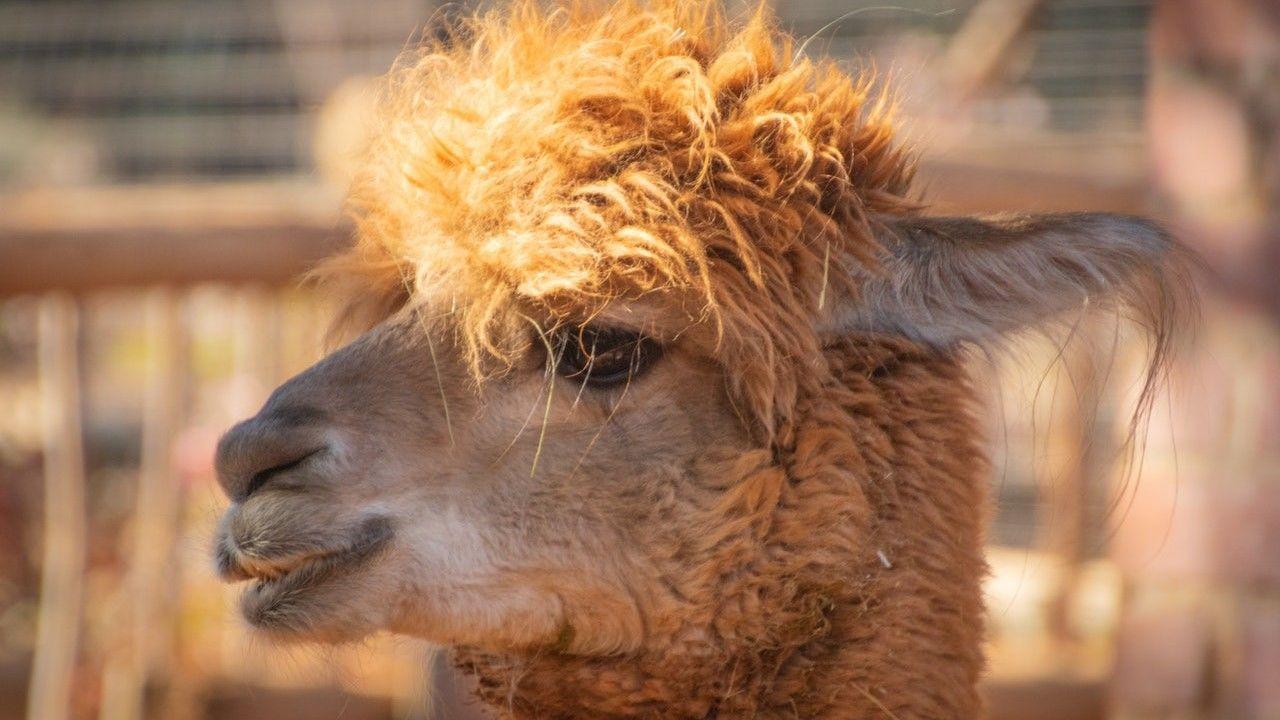 Az alpakák meglepő helyeken bukkanhatnak fel (Illusztráció: Pexels.com)
