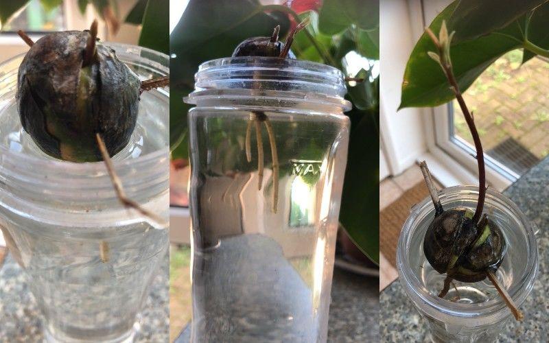 Így fejlődik az avokádó