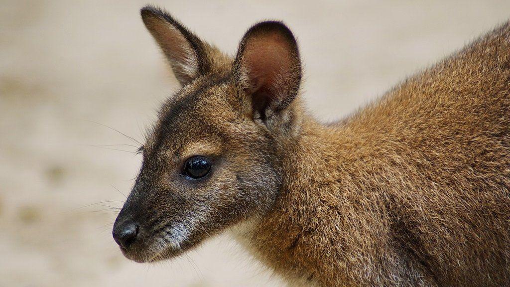 Bennett-kenguru a miskolci állatkertben