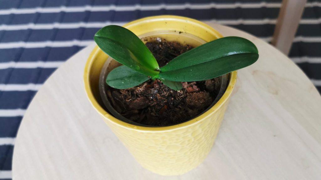 orchidea sarj elültetve