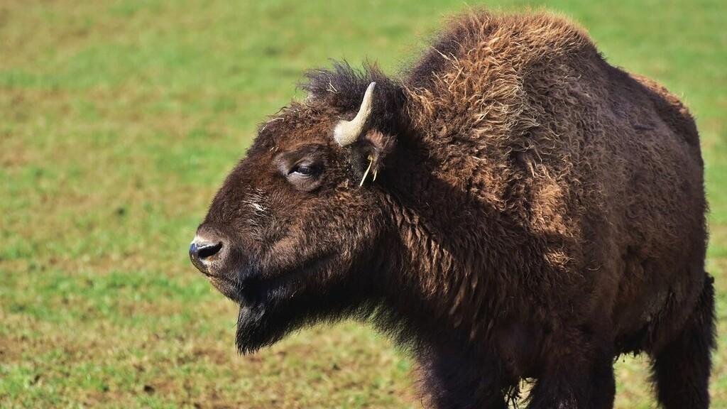 Keresnek egy bölényt, ami megsebesített egy turistát Lengyelországban