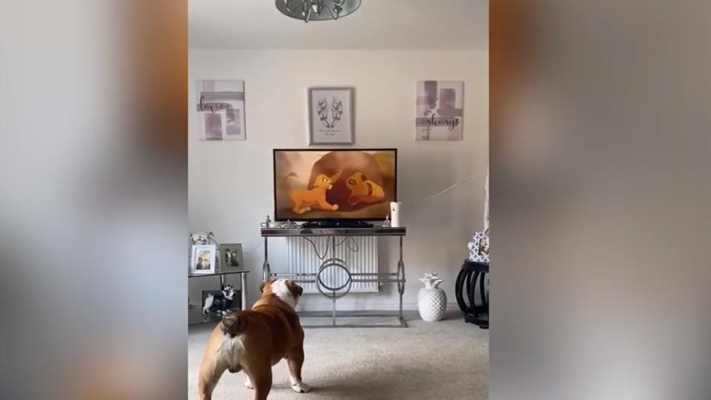 Bulldog, aki imádja az Oroszlánkirályt